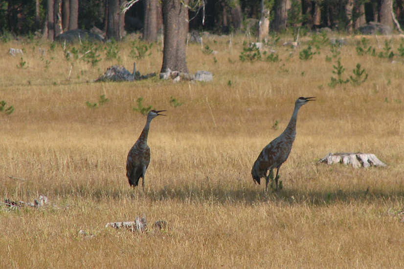 Sandhill cranes in our meadow